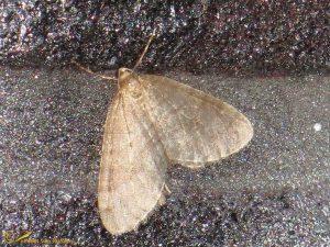Kleine wintervlinder - Operophtera brumata