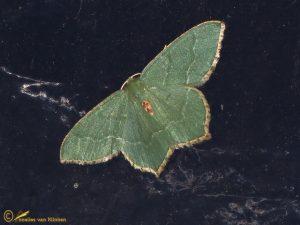 Kleine zomervlinder - Hemithea aestivaria