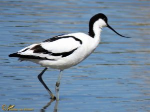 Kluut – Recurvirostra avosetta ♂️