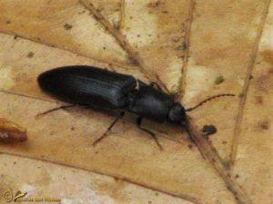 Kniptor onbekend - Elateridae indet.