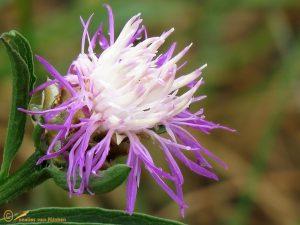 Knoopkruid - Centaurea jacea