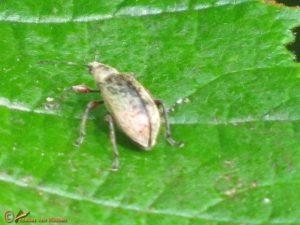 Knoppensnuittor - Phyllobius glaucus