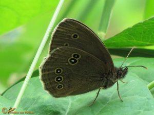 Koevinkje – Aphantopus hyperantus