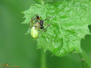 Komkommerspin onbekend - Araniella spec.