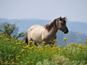 Konik - Equus caballus var. konik ♀️