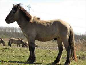 Konik - Equus caballus var. konik ♂️