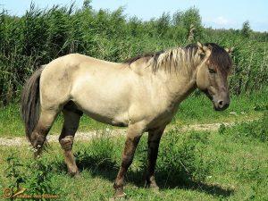 Konik - Equus caballus var. konik
