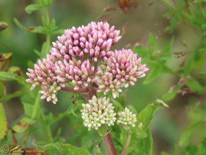 Koninginnekruid - Eupatorium cannabinum