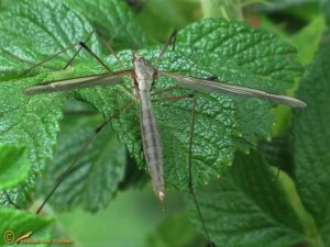 Kool-langpootmug - Tipula oleracea ♀️
