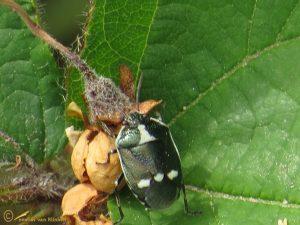 Koolschildwants - Eurydema oleracea
