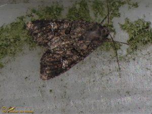 Kooluil - Mamestra brassicae