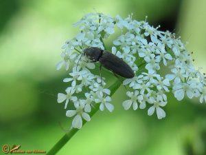 Koperkleurige kniptor - Cidnopus aeruginosus