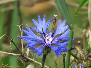 Korenbloem - Centaurea cyanus