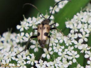 Korte smalboktor - Pachytodes cerambyciformis