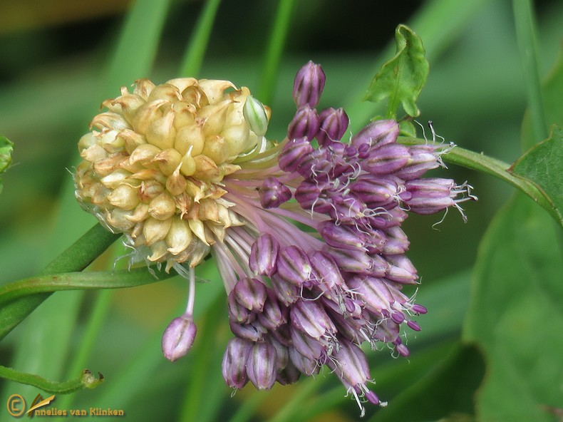Kraailook – Allium vineale