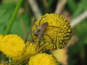 Kraamwebspin - Pisaura mirabilis