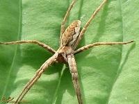Kraamwebspinnen (Pisauridae