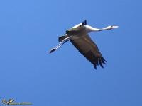 kraanvogels-gruidae