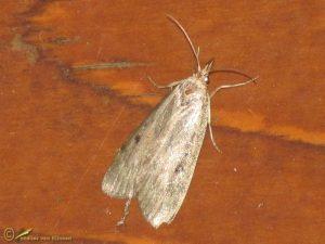 Krabbenscheermot - Parapoynx stratiotata