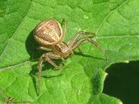 Krabspinnen (Tomisidae)