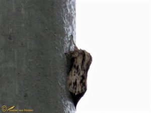 Kromzitter - Asteroscopus sphinx