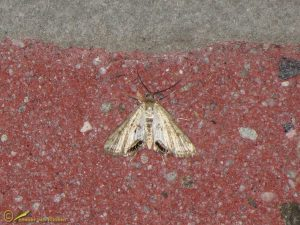 Kroosvlindertje - Cataclysta lemnata
