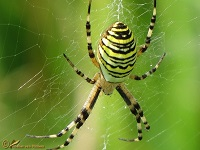 Kruisspinachtigen (Araneidae)