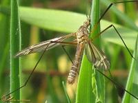 Langpootmuggen (Tipulidae)