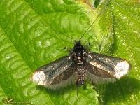 Langsprietmotten (Adelidae)
