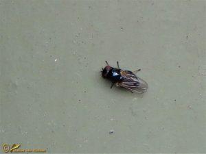 Lansvlieg onbekend - Lonchaeidae indet