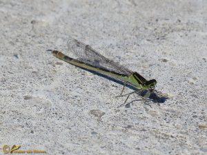 Lantaarntje – Ischnura elegans ♀️