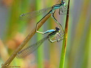 Lantaarntje – Ischnura elegans ♂️ ♀️