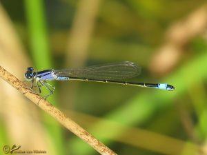 Lantaarntje – Ischnura elegans ♂️