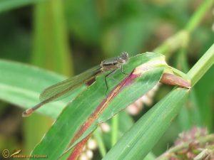 Lantaarntje – Ischnura elegans