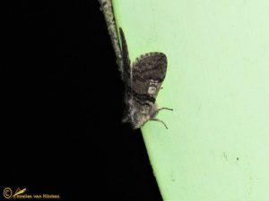 Lente-orvlinder - Achlya flavicornis
