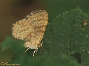 Leverkleurige spanner - Euchoeca nebulata