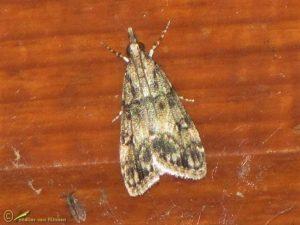Lichte granietmot - Eudonia lacustrata