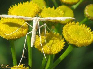 Lichte zandvedermot - Gillmeria pallidactyla