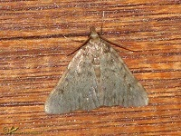 Lichtmotten (Pyralidae)