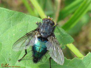 Lijkenvlieg - Cynomya mortuorum