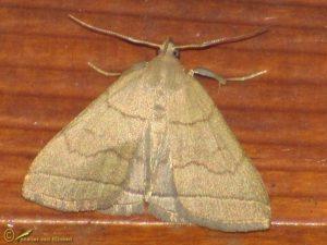 Lijnsnuituil - Herminia tarsipennalis