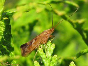 Limnephilus lunatus (