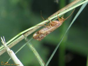 Limnephilus marmoratus