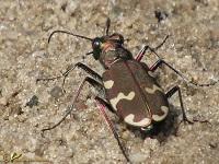 Loopkevers (Carabidae)
