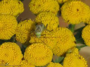 Luzernesierblindwants - Adelphocoris lineolatus