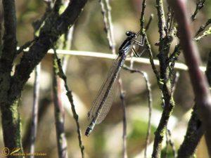 Maanwaterjuffer – Coenagrion lunulatum ♀️