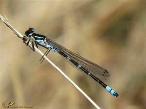 Maanwaterjuffer – Coenagrion lunulatum ♂️