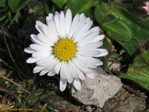 Madeliefje - Bellis perennis