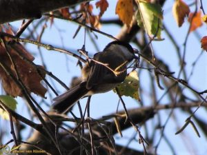Matkop – Poecile montanus