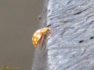 Meeldauwlieveheersbeestje - Halyzia sedecimguttata